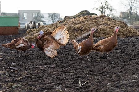 turkey hen: Turkey and turkey hen on a farm Stock Photo