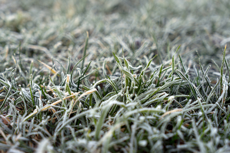 coldness: frozen grass on a meadow in winter