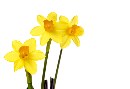 harbinger: Daffodils over a bright background