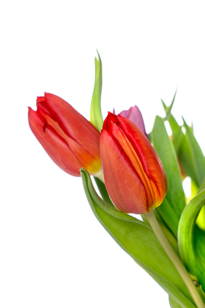harbinger: beautiful Tulips over a bright background