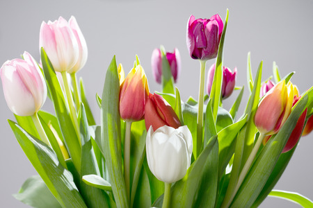 harbinger: beautiful Tulips over a grey background