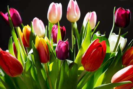 harbinger: beautiful Tulips over a dark background