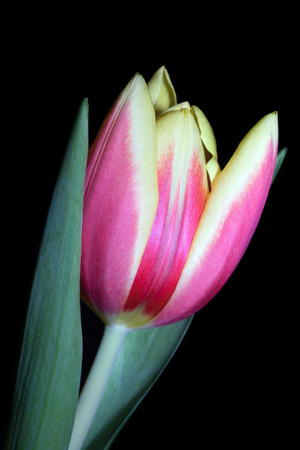 harbinger: beautiful Tulip over a dark background Stock Photo