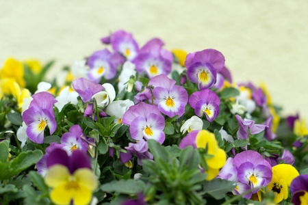 planter: Horn violets in a planter