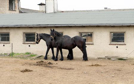 paddock: black Horses in a paddock