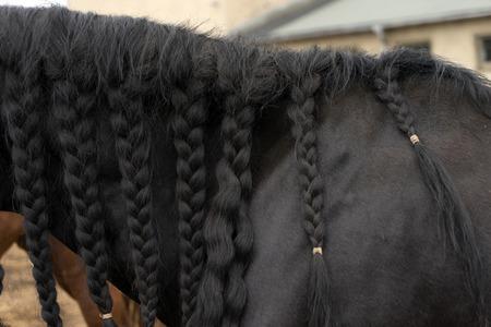 gelding: black mane of a horse