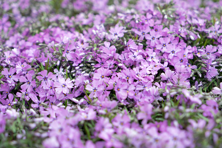 groundcover: close up of purple Flowers in a garden