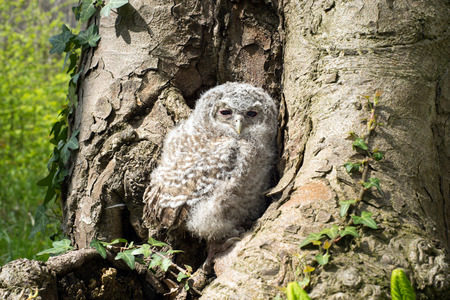 tawny: Tawny Owl in front of a tree