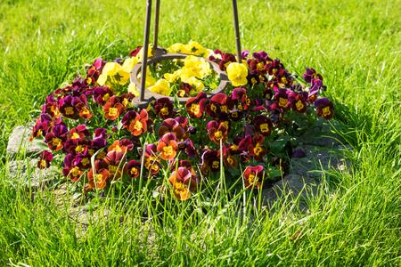 flowerbed: Pansies in a flowerbed