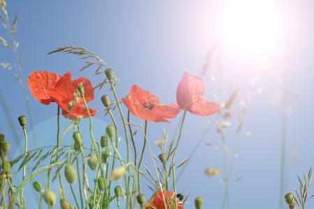 sunlight sky: beautiful poppy and blue sky with sun Stock Photo