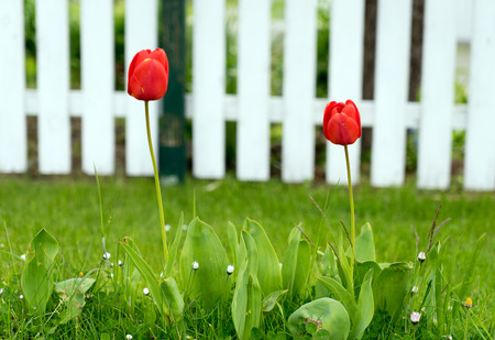 harbinger: beautiful tulips in a garden Stock Photo