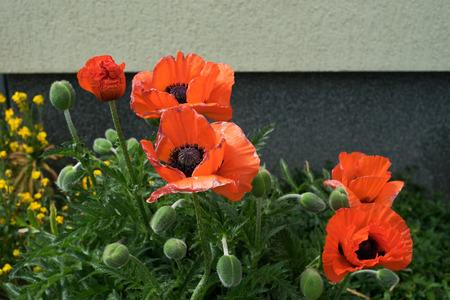 poppy flower: Poppy flower in a garden