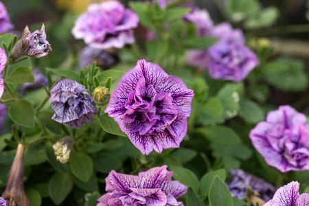 petunias: beautiful petunias in a flower pot
