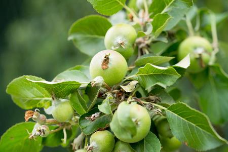 Apple tree with immature apples