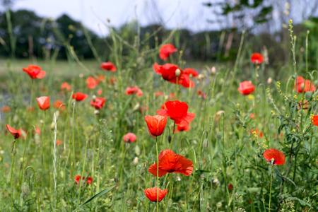 bud weed: beautiful Poppy on a meadow