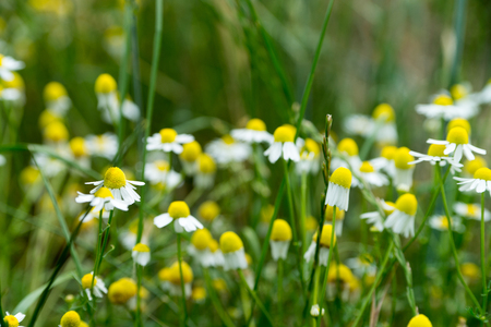 naturopathy: Chamomile flowers in a meadow