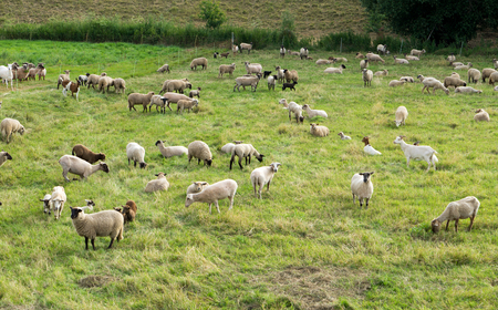 cattle breeding: many sheep in a pasture