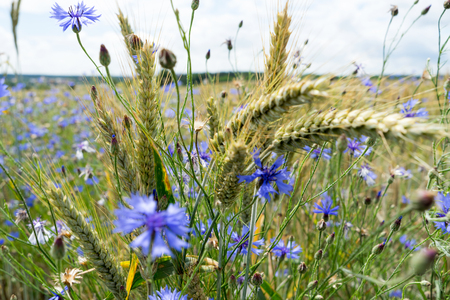 cornflowers: many Cornflowers and cereal field