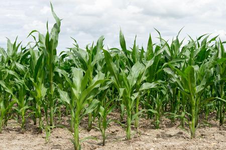 fodder corn: Corn field with many plants Stock Photo