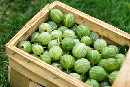 pome: Basket full of gooseberries stands in a meadow
