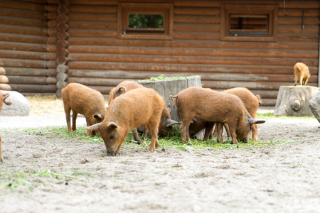animal breeding: many small pigs in an enclosure