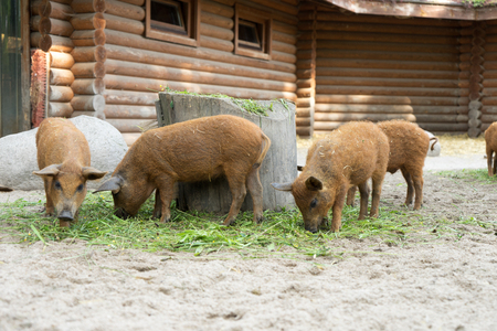 many small pigs in an enclosure