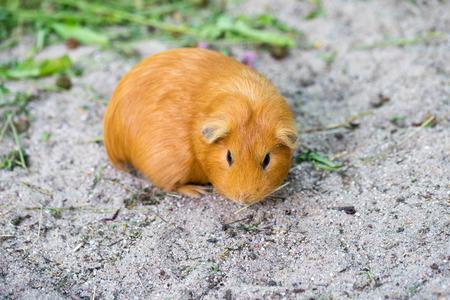 guinea pig: little guinea pig in a enclosure