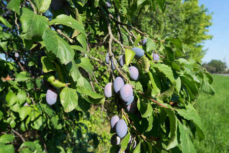 plum tree: Plums on a plum tree Stock Photo