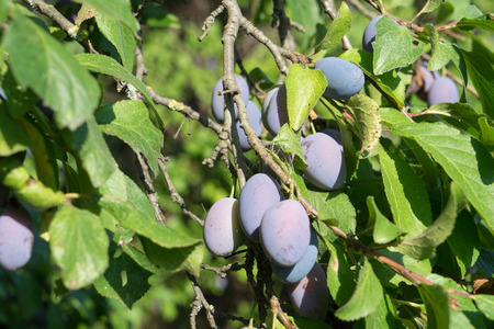vitamin rich: Plums on a plum tree Stock Photo