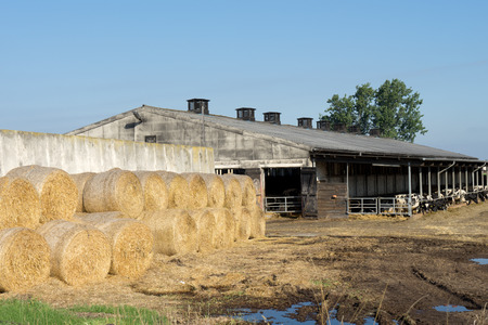 bales: Farm with cows and straw bales