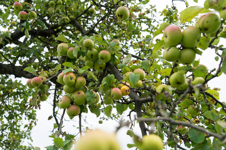 vitamin rich: Apple tree with many apples Stock Photo