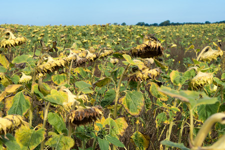 Withered sunflower in a sunflower field