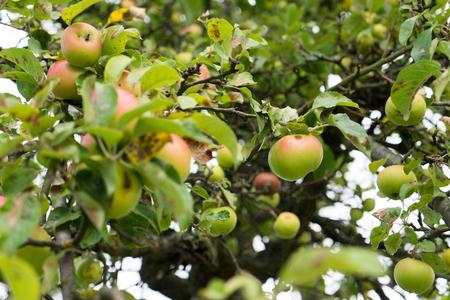 pome: Apple tree with many apples Stock Photo