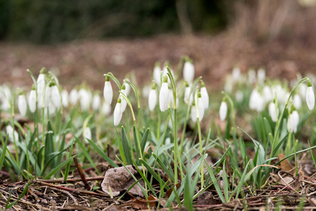 Many snowdrops in a meadow Stock Photo