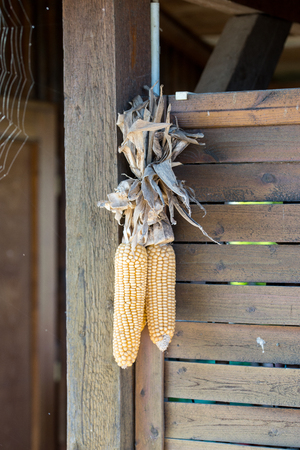 harvests: dried corn cobs hanging on a wooden wall