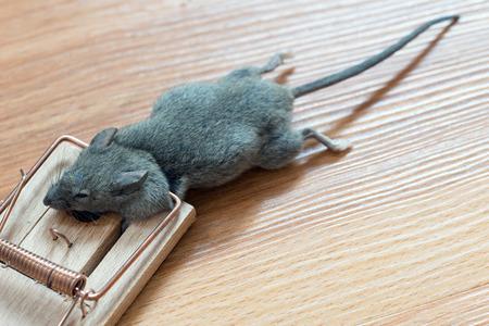 Dead mouse in a mousetrap