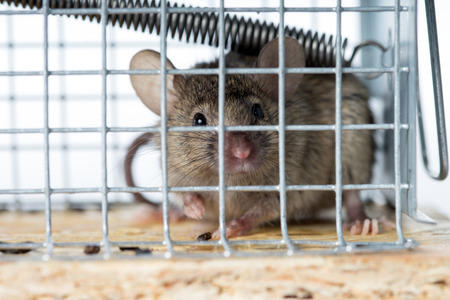 Mouse caught in a mousetrap Stok Fotoğraf - 84657025