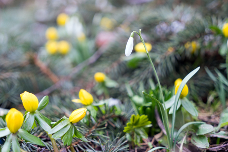 snowdrops and winterlings in a garden