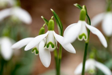 Snowdrops in a garden