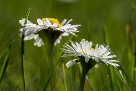 beautiful daisy on a meadow Standard-Bild - 100717058