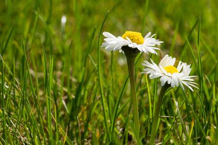 beautiful daisy on a meadow Standard-Bild - 100806815