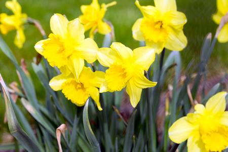 beautiful daffodils in a garden Standard-Bild - 100806816