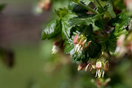 blossom from a gooseberry bush Standard-Bild - 100717075