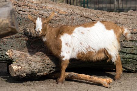 Goat in an animal park Standard-Bild - 100717082