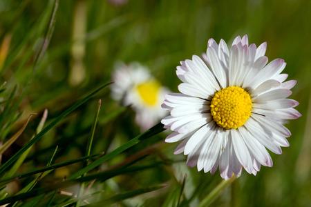beautiful daisy on a meadow Standard-Bild - 100715180