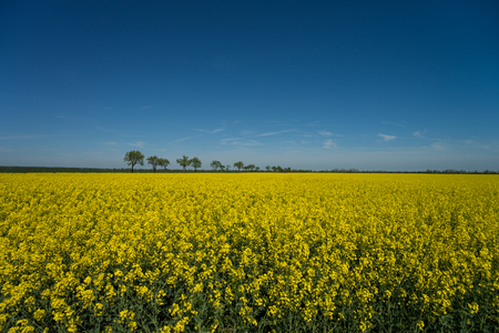 Gelbes Rapsfeld und blauer Himmel Standard-Bild - 101006963