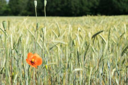 poppy and cereal field Standard-Bild - 103114411