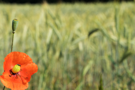 poppy and cereal field Standard-Bild - 112527848