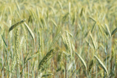 close up of a cornfield