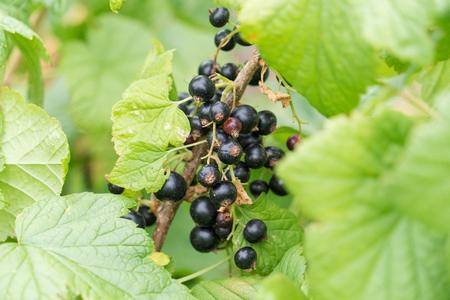 black currant on a branch Standard-Bild - 104592523